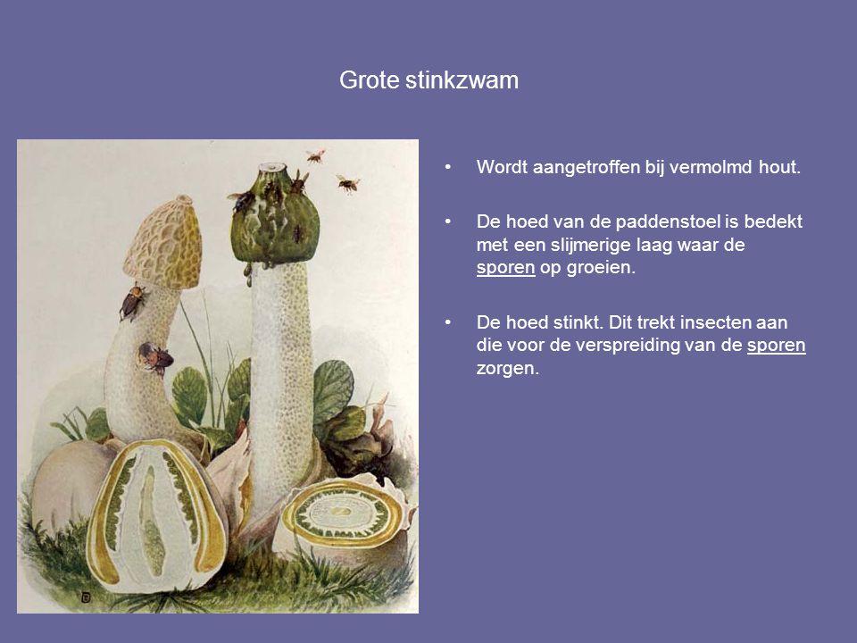 Grote stinkzwam Wordt aangetroffen bij vermolmd hout. De hoed van de paddenstoel is bedekt met een slijmerige laag waar de sporen op groeien. De hoed