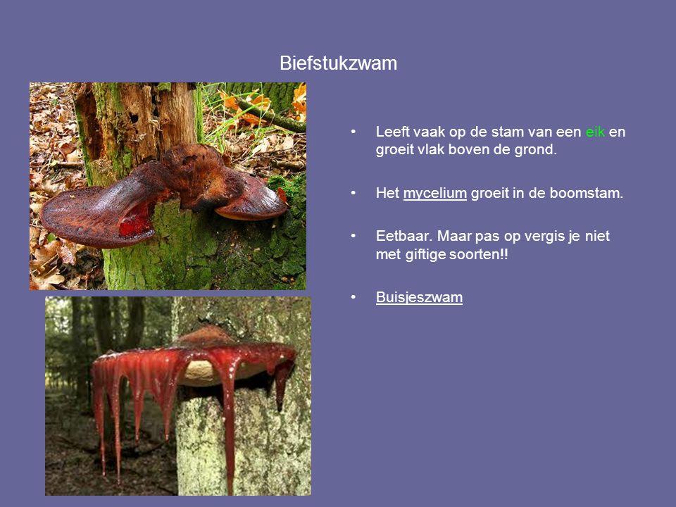 Biefstukzwam Leeft vaak op de stam van een eik en groeit vlak boven de grond. Het mycelium groeit in de boomstam. Eetbaar. Maar pas op vergis je niet