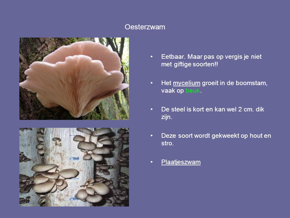 Oesterzwam Eetbaar. Maar pas op vergis je niet met giftige soorten!! Het mycelium groeit in de boomstam, vaak op beuk. De steel is kort en kan wel 2 c