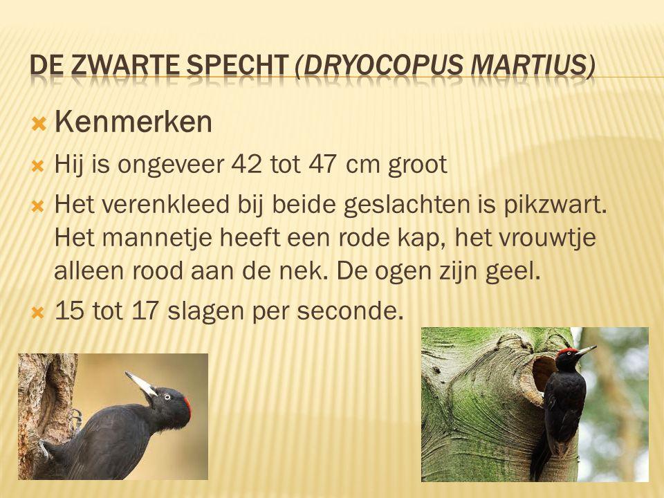  Kenmerken  Hij is ongeveer 42 tot 47 cm groot  Het verenkleed bij beide geslachten is pikzwart. Het mannetje heeft een rode kap, het vrouwtje alle