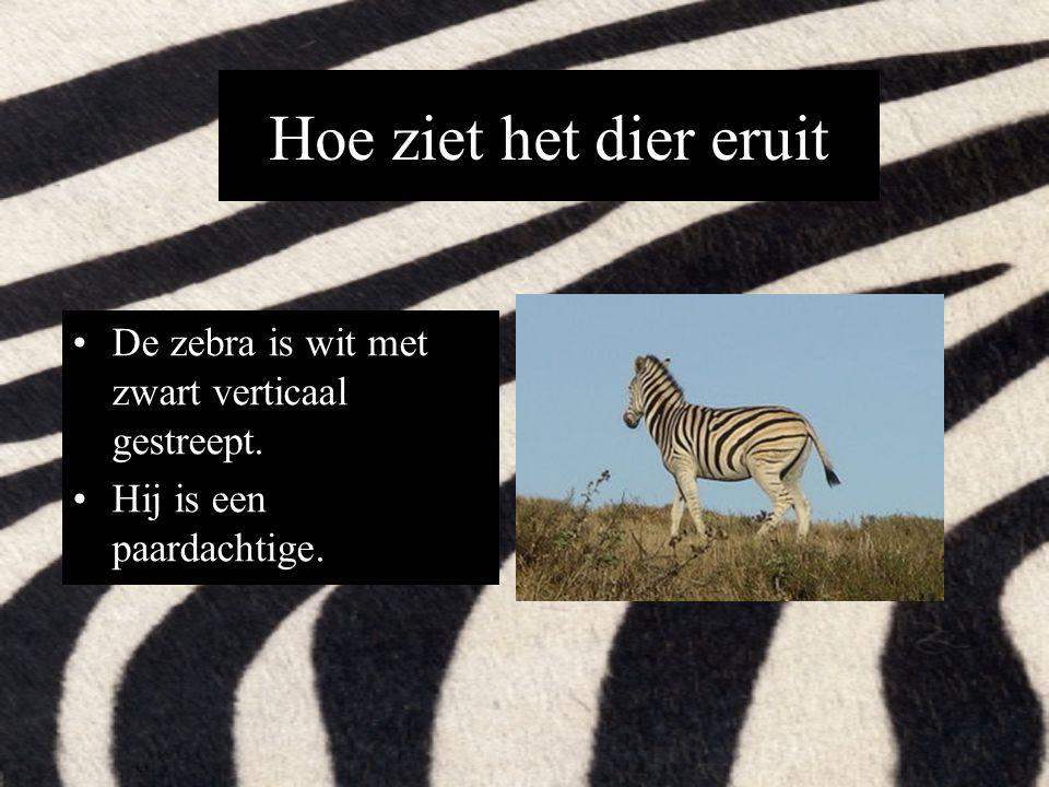 Hoe ziet het dier eruit De zebra is wit met zwart verticaal gestreept. Hij is een paardachtige.