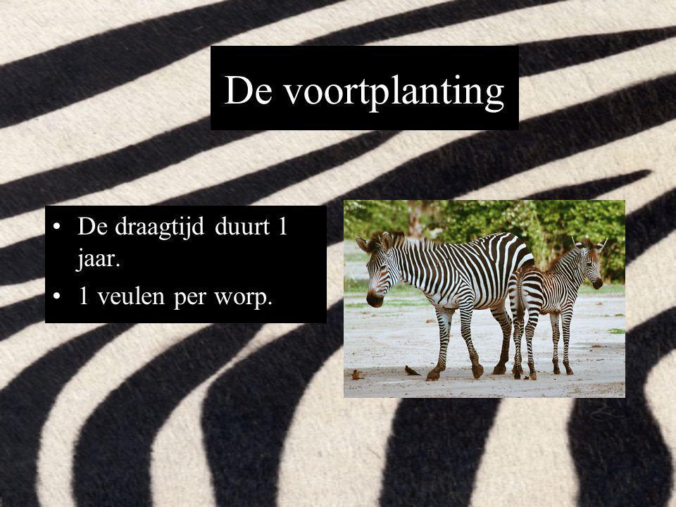 Waar leeft dit dier Ze leven in de open vlakten van Zuid-Afrika Ze leven ook op grasvelden en heuvels