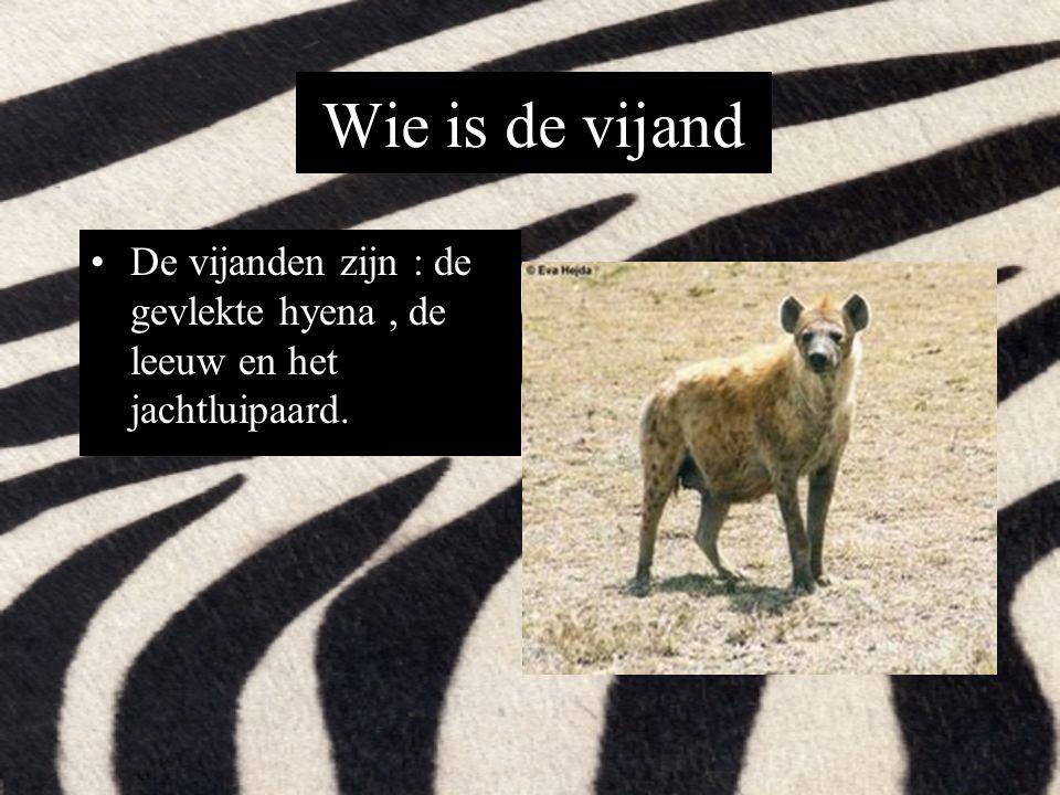 Wie is de vijand De vijanden zijn : de gevlekte hyena, de leeuw en het jachtluipaard.
