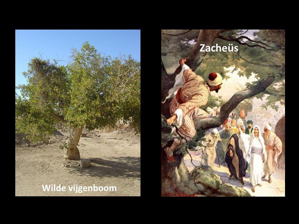 Een verloren mens Boompje klimmen Zacheüs, chef-belastinginner Boom als waarnemerspost Jezus' route naar Jeruzalem Jezus ziet Zacheüs zitten Redding is persoonlijk