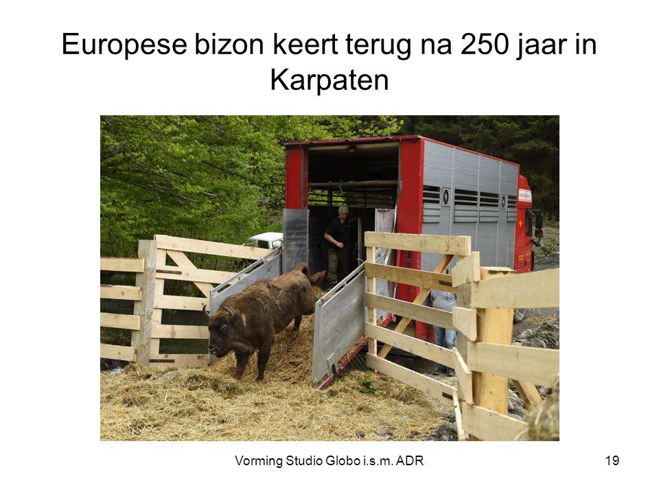 Europese bizon keert terug na 250 jaar in Karpaten Vorming Studio Globo i.s.m. ADR19