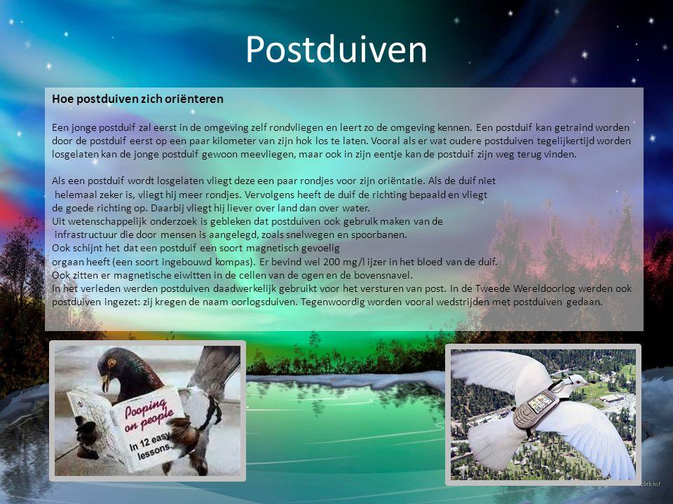 Postduiven Hoe postduiven zich oriënteren Een jonge postduif zal eerst in de omgeving zelf rondvliegen en leert zo de omgeving kennen. Een postduif ka