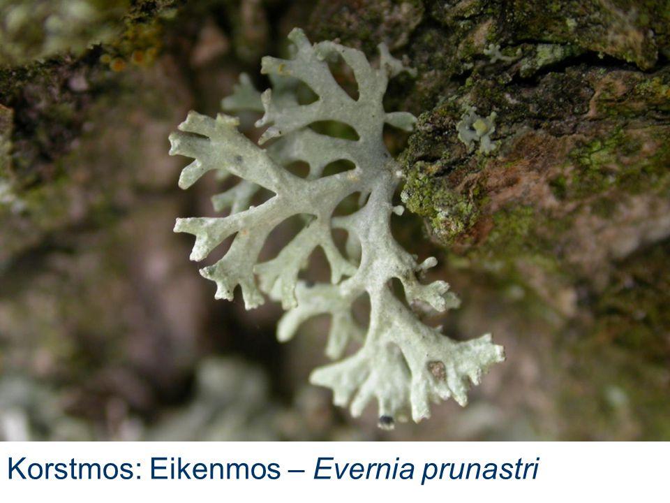 Korstmos: Eikenmos – Evernia prunastri