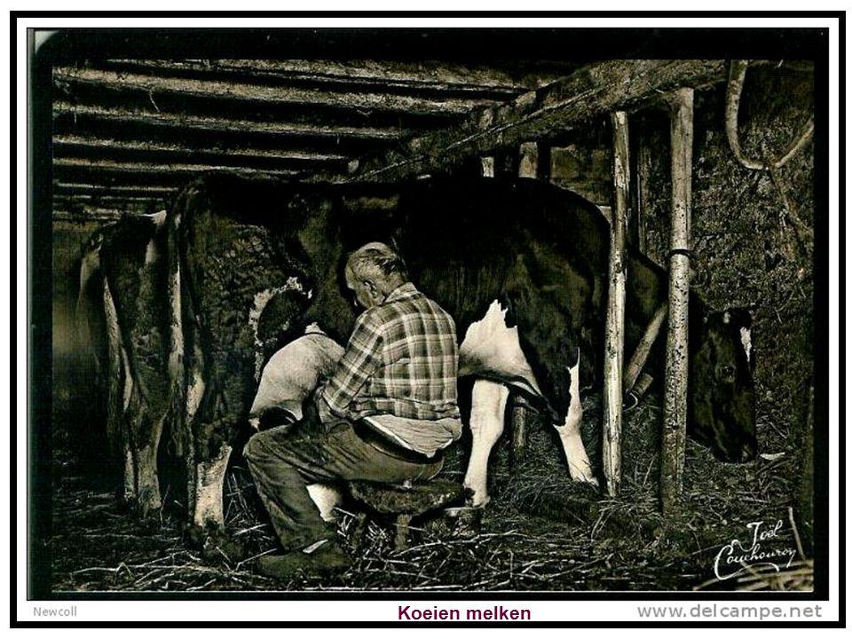 Einde van de dag, het vee terug naar de stal brengen.