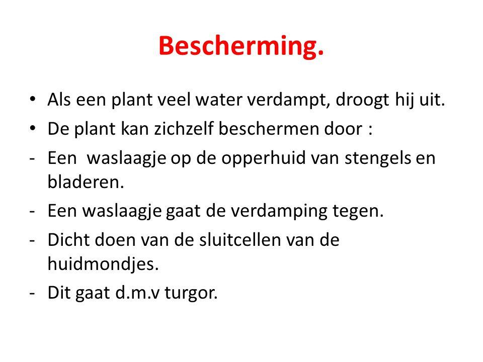 Bescherming. Als een plant veel water verdampt, droogt hij uit. De plant kan zichzelf beschermen door : -Een waslaagje op de opperhuid van stengels en