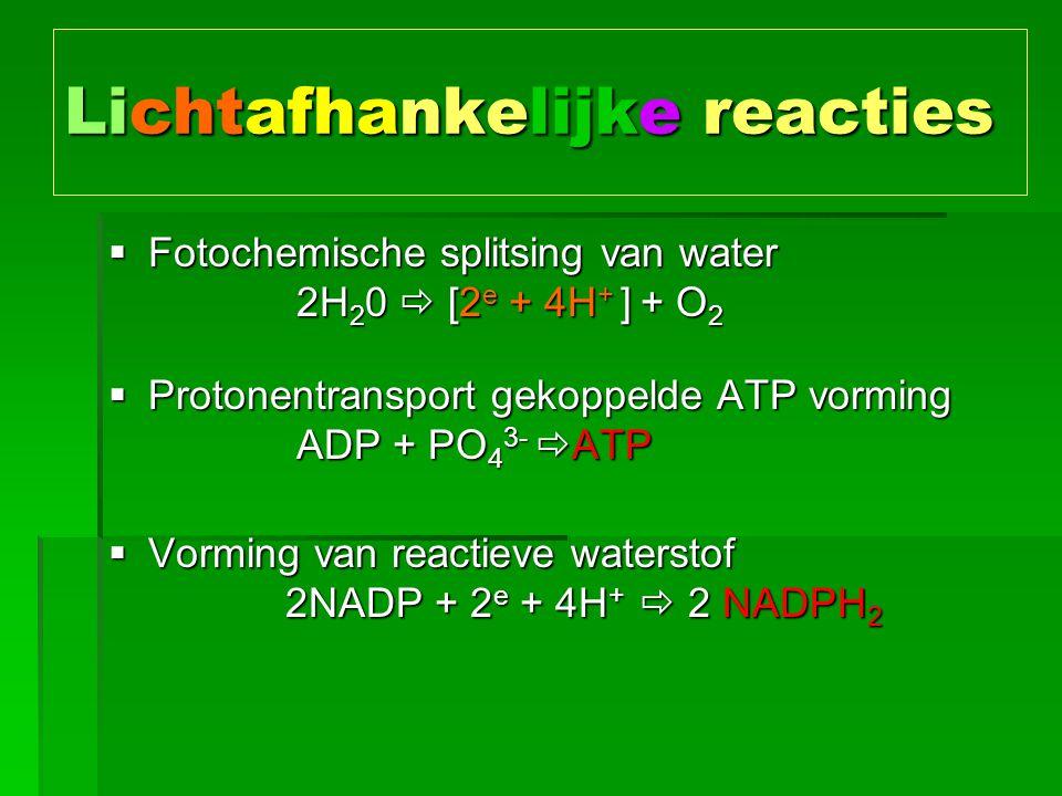 Lichtafhankelijke reacties  Fotochemische splitsing van water 2H 2 0  [2 e + 4H + ] + O 2  Protonentransport gekoppelde ATP vorming ADP + PO 4 3-  ATP  Vorming van reactieve waterstof 2NADP + 2 e + 4H +  2 NADPH 2