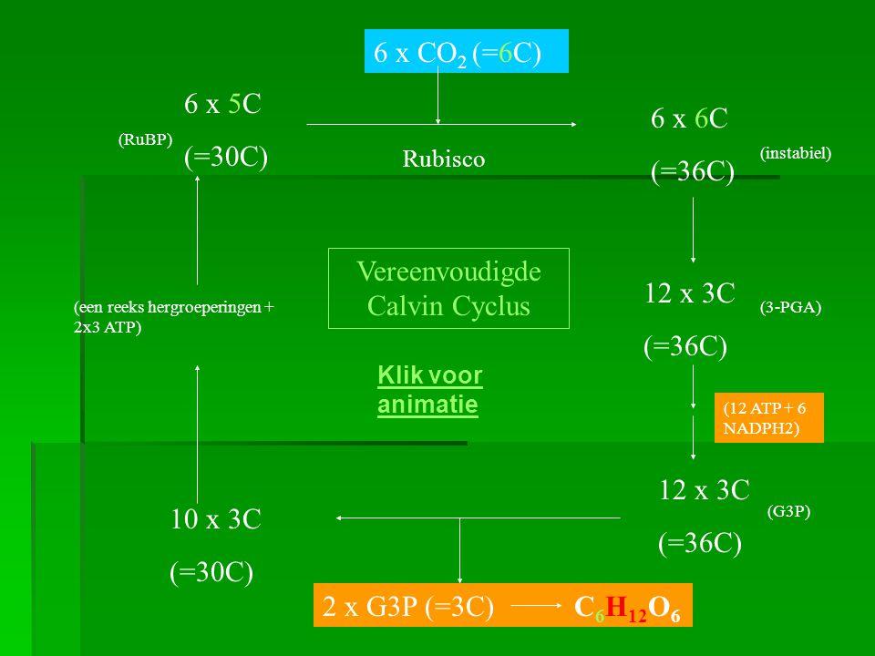 6 x 5C (=30C) 6 x CO 2 (=6C) 6 x 6C (=36C) (instabiel) 12 x 3C (=36C) (3-PGA) 12 x 3C (=36C) (G3P) 2 x G3P (=3C) C 6 H 12 O 6 10 x 3C (=30C) Vereenvoudigde Calvin Cyclus (een reeks hergroeperingen + 2x3 ATP) (12 ATP + 6 NADPH2) (RuBP) Rubisco Klik voor animatie