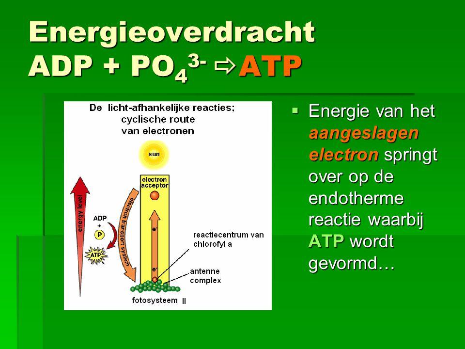 Energieoverdracht ADP + PO 4 3- PO 4 3-  ATP  Energie van het aangeslagen electron springt over op de endotherme reactie waarbij ATP wordt gevormd…
