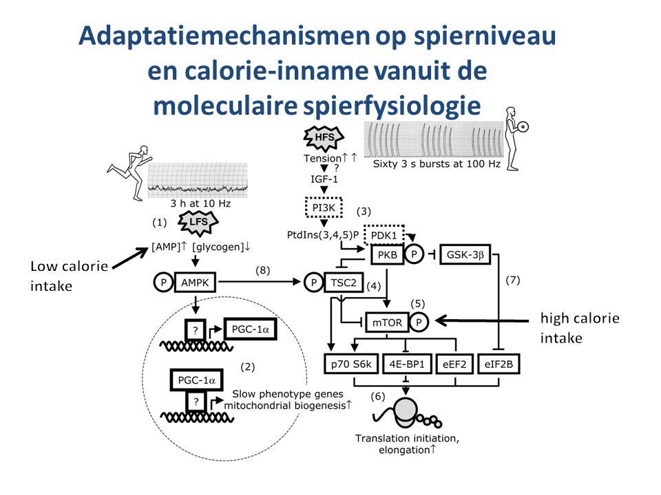 Adaptatiemechanismen op spierniveau en calorie-inname vanuit de moleculaire spierfysiologie