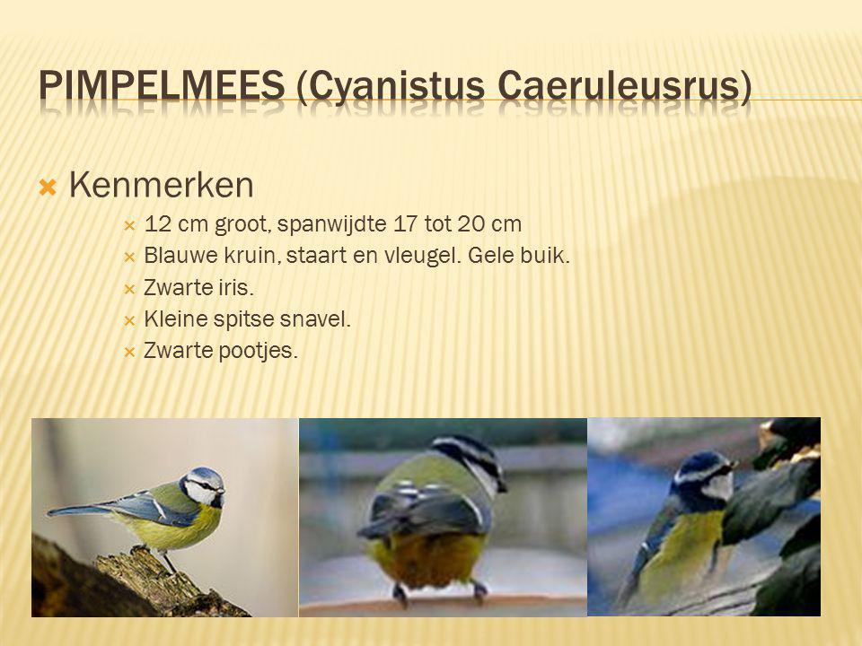  Kenmerken  12 cm groot, spanwijdte 17 tot 20 cm  Blauwe kruin, staart en vleugel. Gele buik.  Zwarte iris.  Kleine spitse snavel.  Zwarte pootj