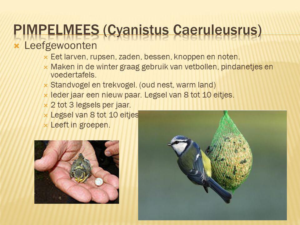  Leefgewoonten  Eet larven, rupsen, zaden, bessen, knoppen en noten.  Maken in de winter graag gebruik van vetbollen, pindanetjes en voedertafels.