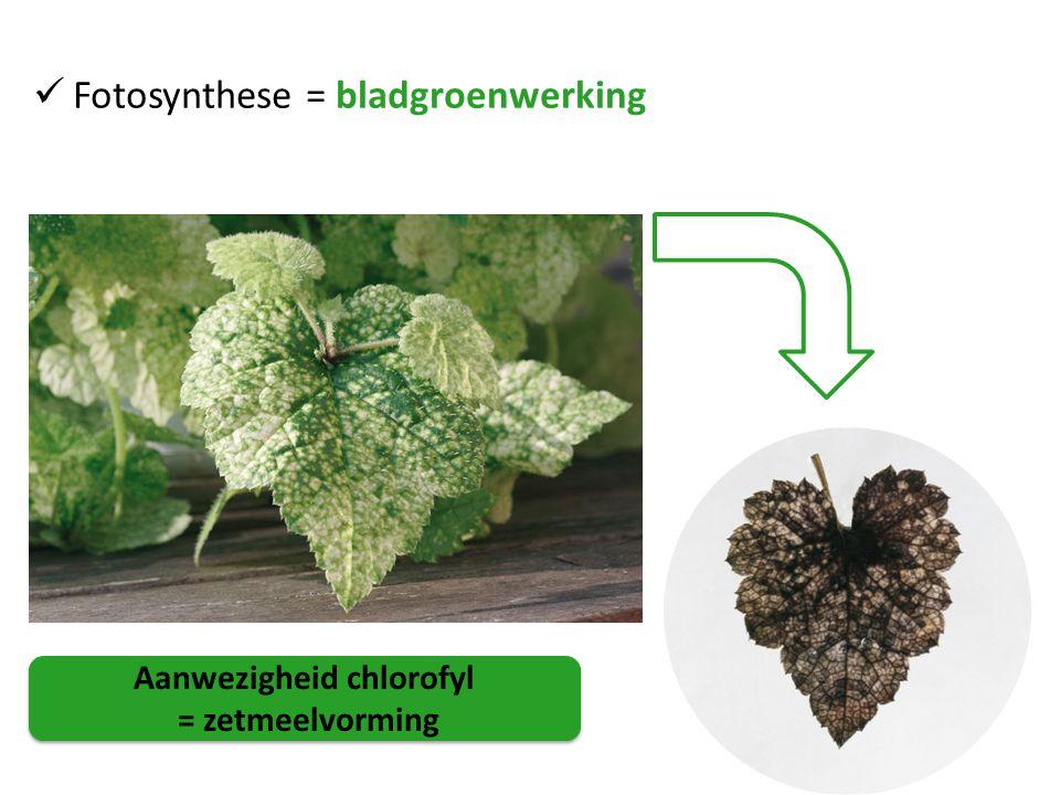 Aanwezigheid chlorofyl = zetmeelvorming Aanwezigheid chlorofyl = zetmeelvorming Fotosynthese = bladgroenwerking
