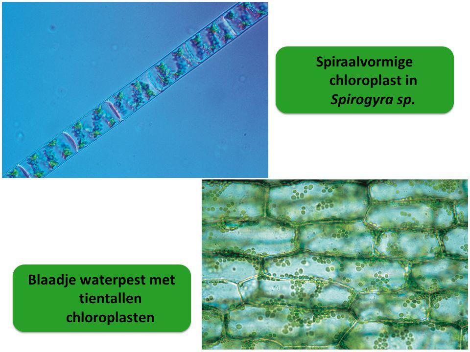 Spiraalvormige chloroplast in Spirogyra sp. Blaadje waterpest met tientallen chloroplasten