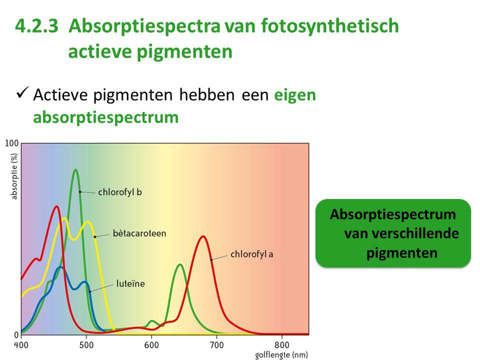 4.2.3 Absorptiespectra van fotosynthetisch actieve pigmenten Actieve pigmenten hebben een eigen absorptiespectrum Absorptiespectrum van verschillende pigmenten