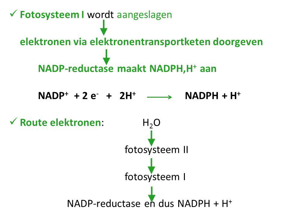 Fotosysteem I wordt aangeslagen elektronen via elektronentransportketen doorgeven NADP-reductase maakt NADPH,H + aan NADP + + 2 e - + 2H + NADPH + H + Route elektronen: H 2 O fotosysteem II fotosysteem I NADP-reductase en dus NADPH + H +