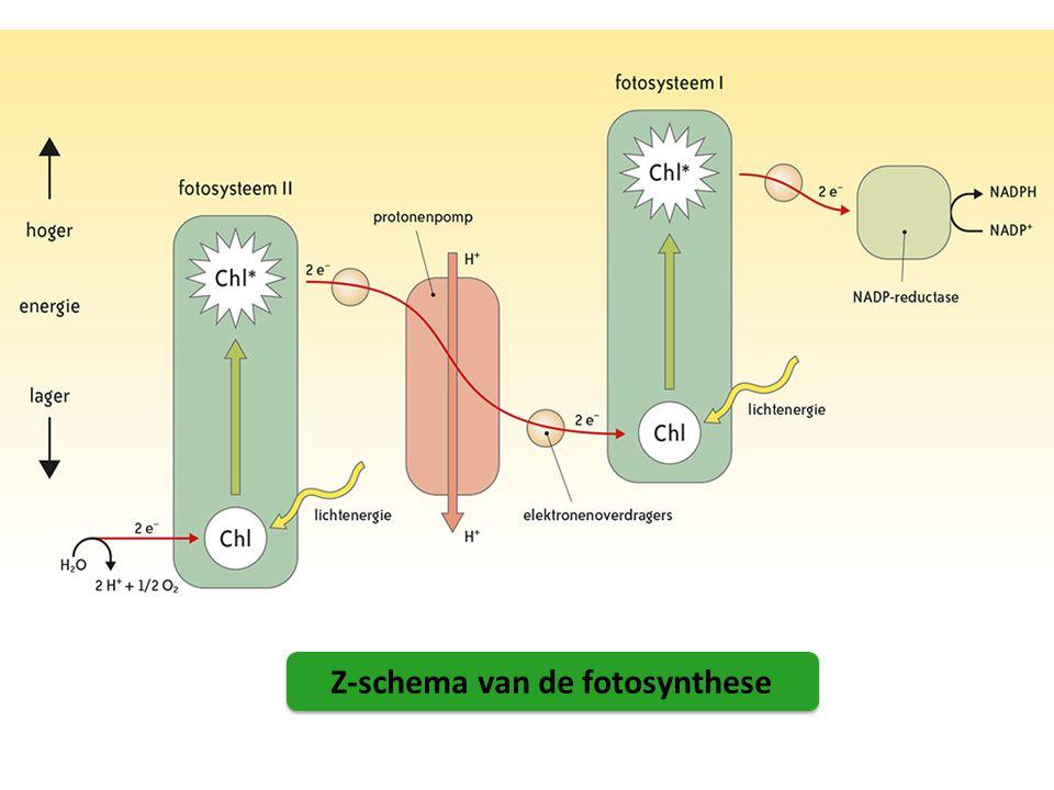 Z-schema van de fotosynthese