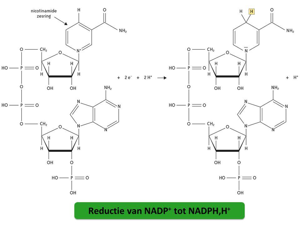Reductie van NADP + tot NADPH,H +