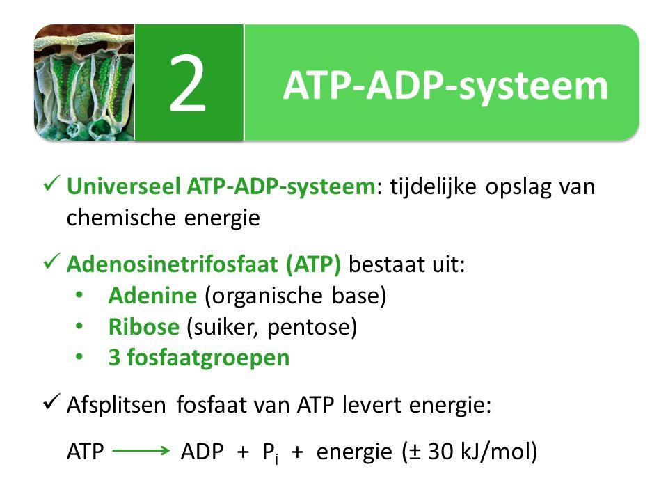 ATP-ADP-systeem 2 2 Universeel ATP-ADP-systeem: tijdelijke opslag van chemische energie Adenosinetrifosfaat (ATP) bestaat uit: Adenine (organische base) Ribose (suiker, pentose) 3 fosfaatgroepen Afsplitsen fosfaat van ATP levert energie: ATP ADP + P i + energie (± 30 kJ/mol)