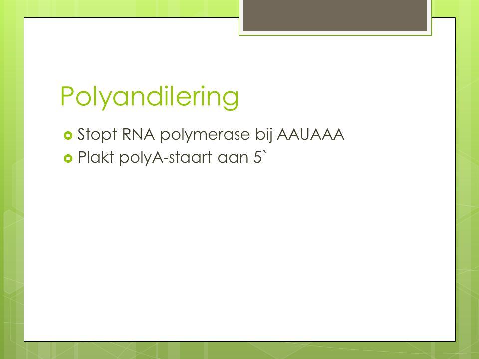 Polyandilering  Stopt RNA polymerase bij AAUAAA  Plakt polyA-staart aan 5`