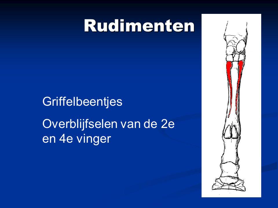 Rudimenten Griffelbeentjes Overblijfselen van de 2e en 4e vinger
