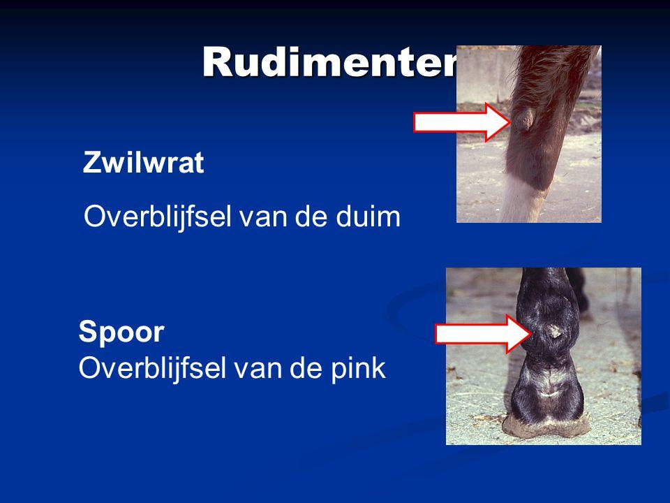 Rudimenten Zwilwrat Overblijfsel van de duim Spoor Overblijfsel van de pink