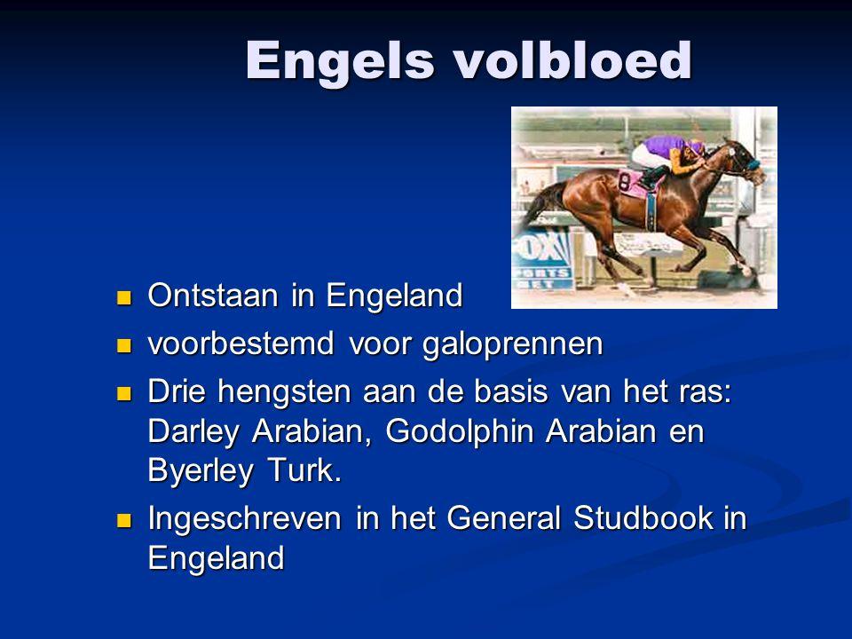 Engels volbloed Ontstaan in Engeland Ontstaan in Engeland voorbestemd voor galoprennen voorbestemd voor galoprennen Drie hengsten aan de basis van het