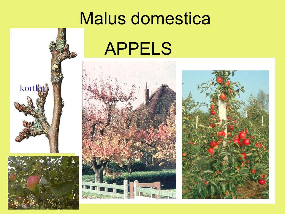 appels Dessertappel, aromatisch, blossige schil, consumptieperiode december-april, gedeeltelijk zelfbestuivend.