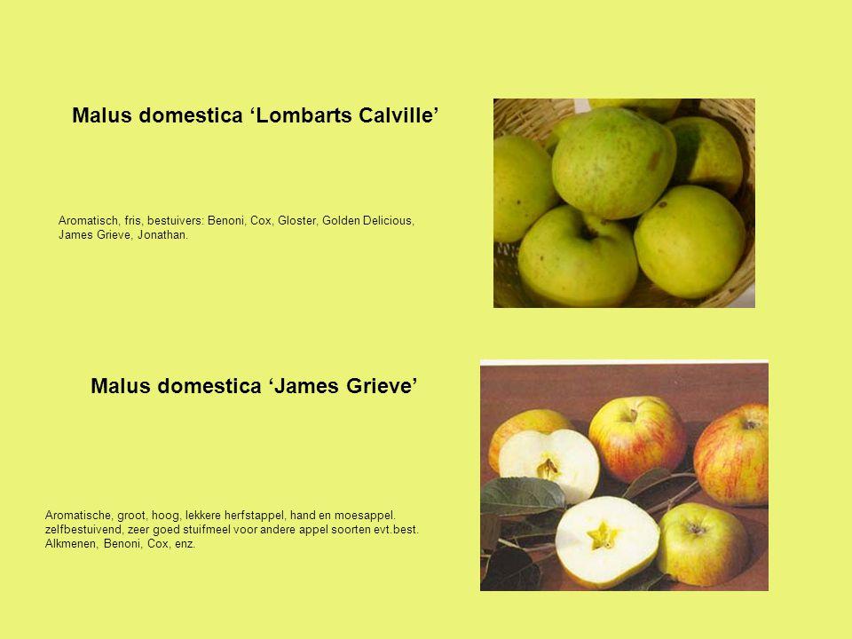 Goudgeel, zeer lekkere eetappel, zeer vruchtbaar, bestuift ook goed andere rassen, bestuivers: Alkmene, Cox, Elstar, enz.