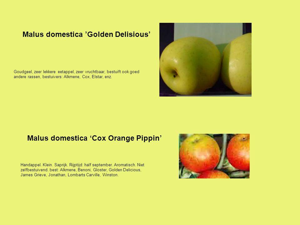 Goudgeel, zeer lekkere eetappel, zeer vruchtbaar, bestuift ook goed andere rassen, bestuivers: Alkmene, Cox, Elstar, enz. Malus domestica 'Golden Deli