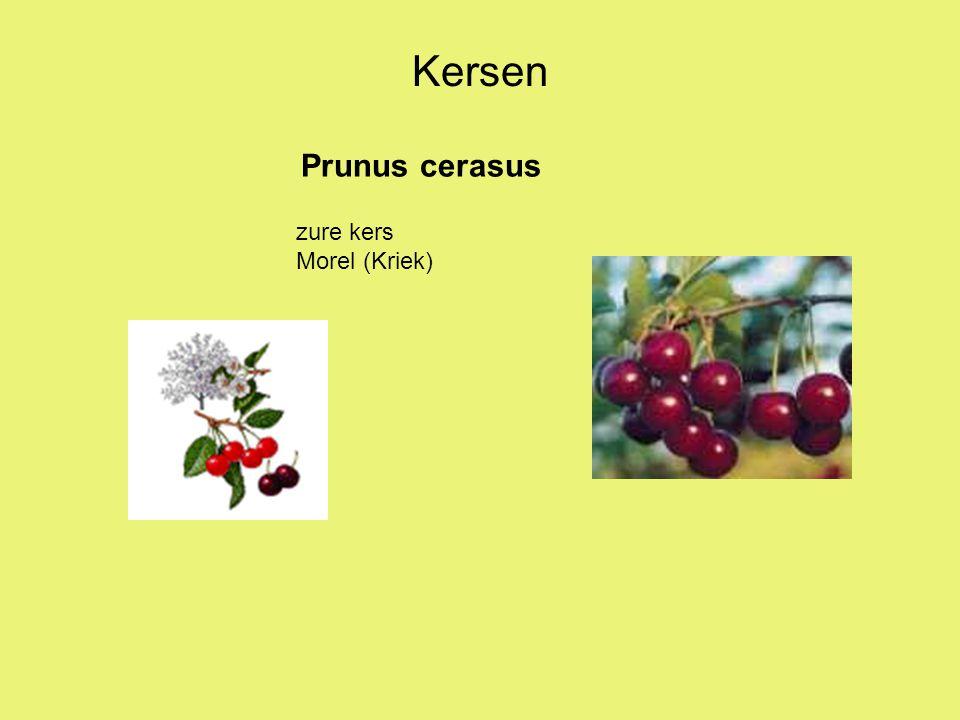 Prunus cerasus Kersen zure kers Morel (Kriek)