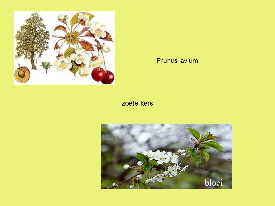 zoete kers bloei Prunus avium