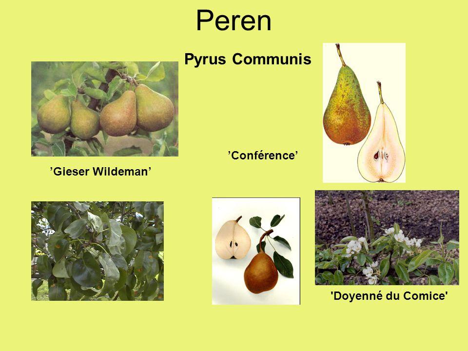 Pyrus Communis 'Gieser Wildeman' 'Conférence' 'Doyenné du Comice' Peren