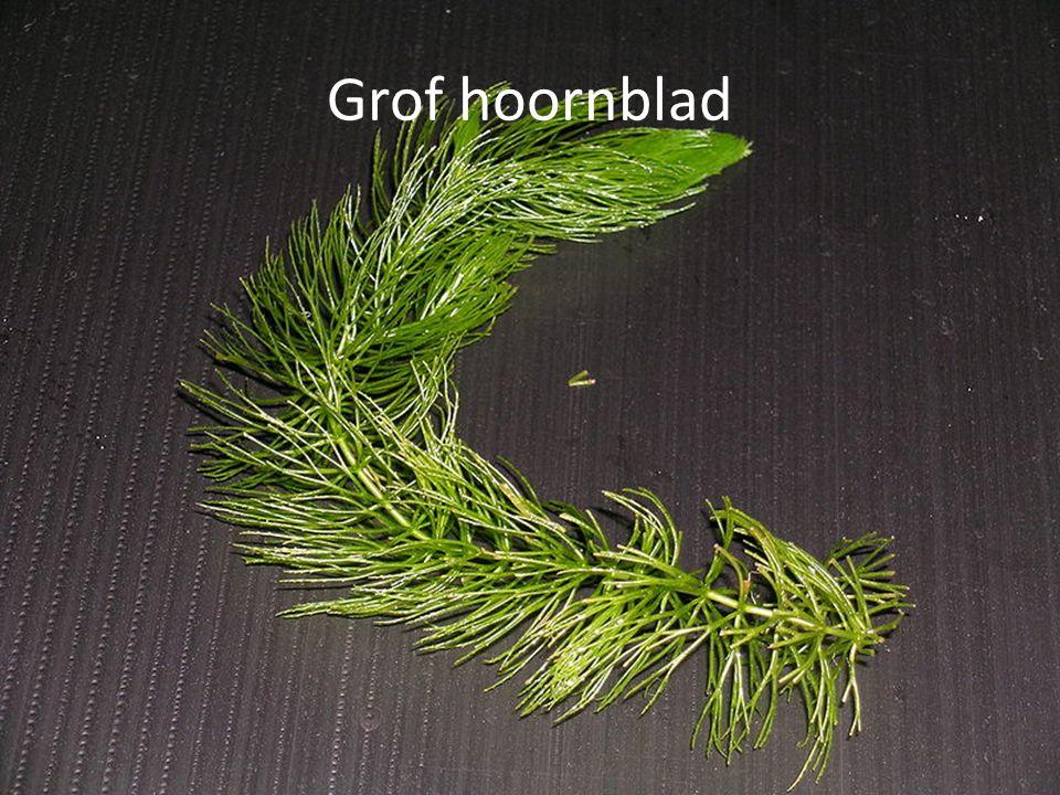 Grof hoornblad