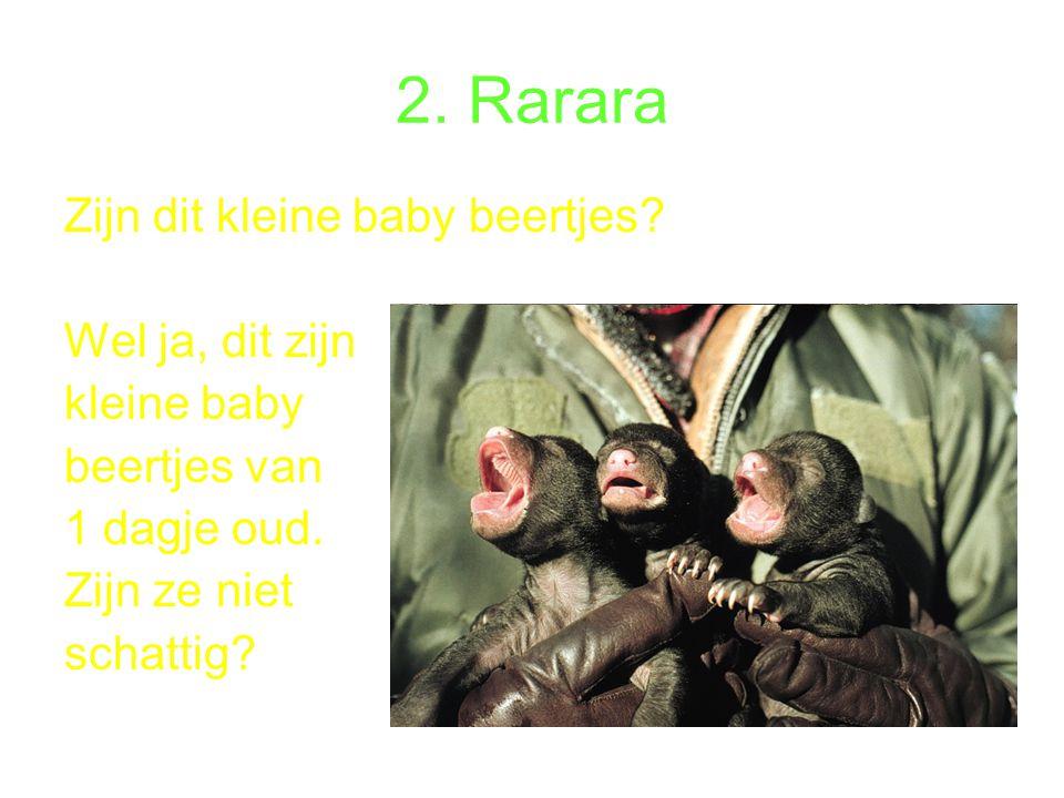 2.Rarara Zijn dit kleine baby beertjes. Wel ja, dit zijn kleine baby beertjes van 1 dagje oud.