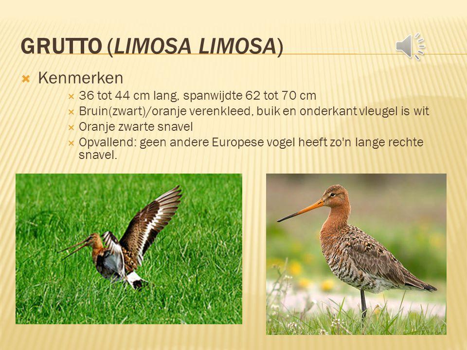 GRUTTO (LIMOSA LIMOSA)  Kenmerken  36 tot 44 cm lang, spanwijdte 62 tot 70 cm  Bruin(zwart)/oranje verenkleed, buik en onderkant vleugel is wit  Oranje zwarte snavel  Opvallend: geen andere Europese vogel heeft zo n lange rechte snavel.
