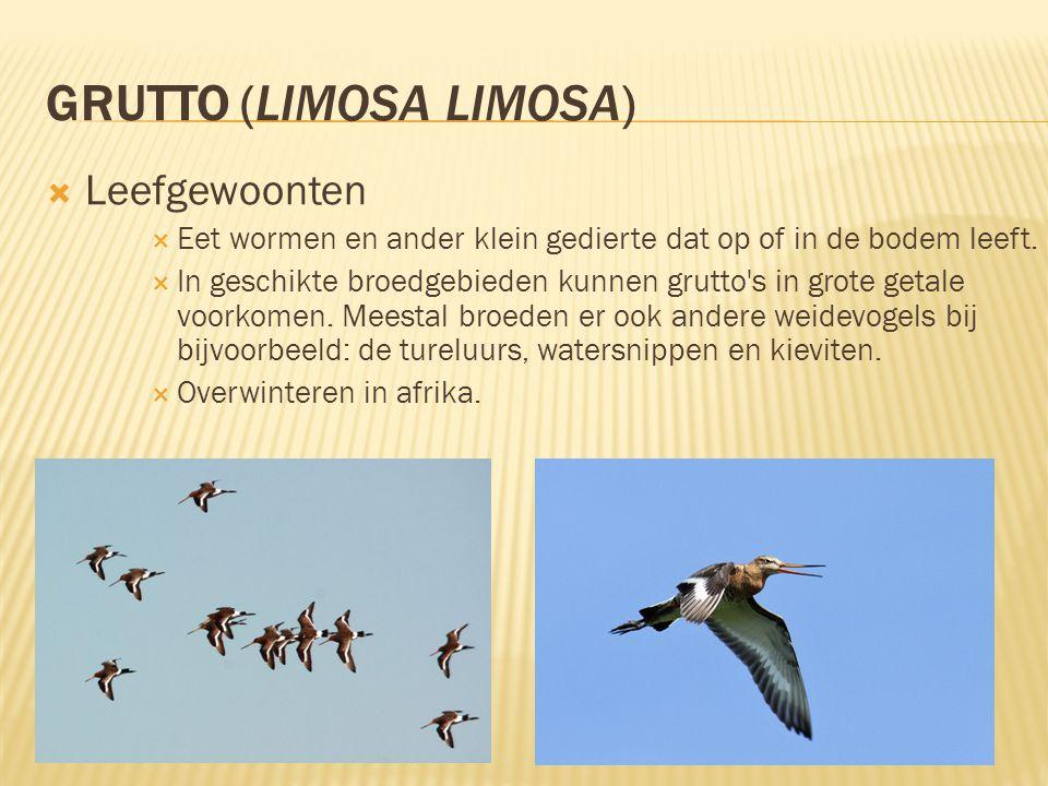 GRUTTO (LIMOSA LIMOSA)  Leefgewoonten  Eet wormen en ander klein gedierte dat op of in de bodem leeft.