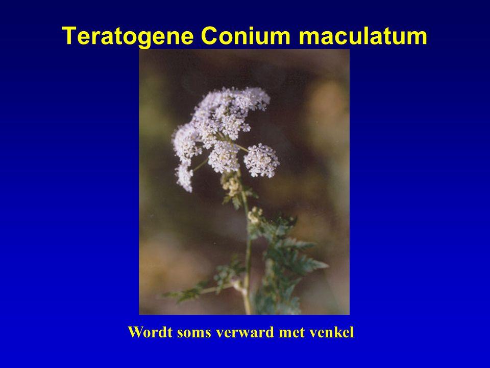Teratogene Conium maculatum Wordt soms verward met venkel
