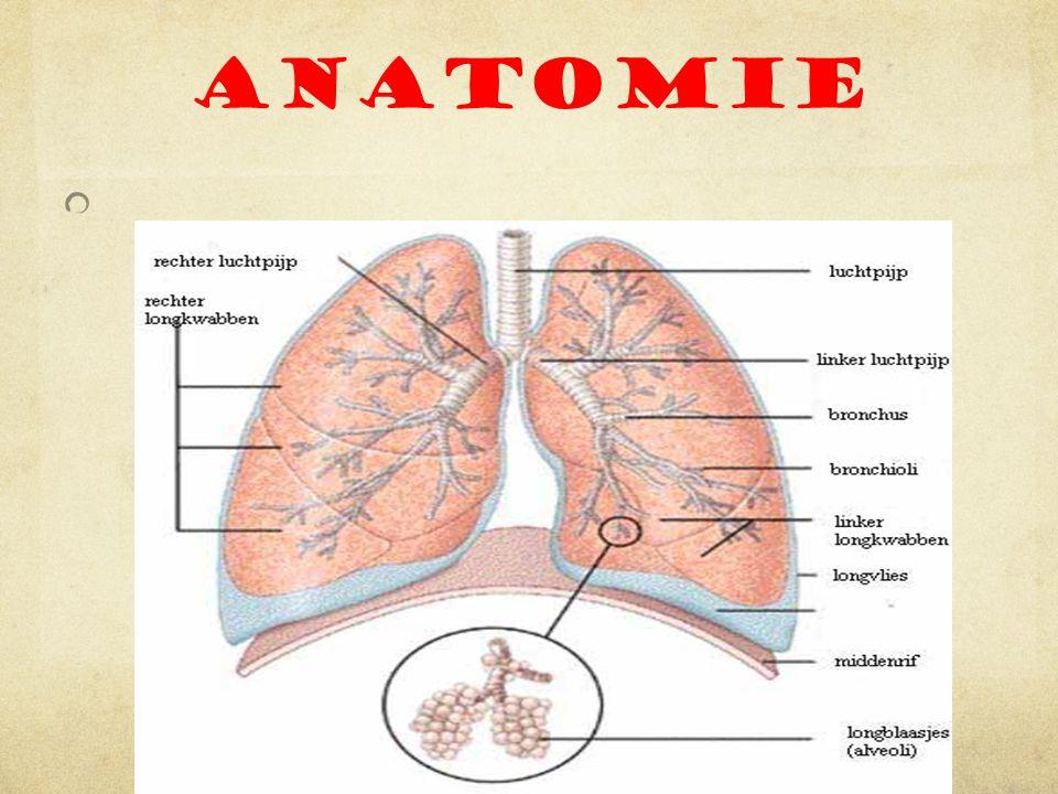 Functie o Door te ademen voorzien we ons lichaam van zuurstof.