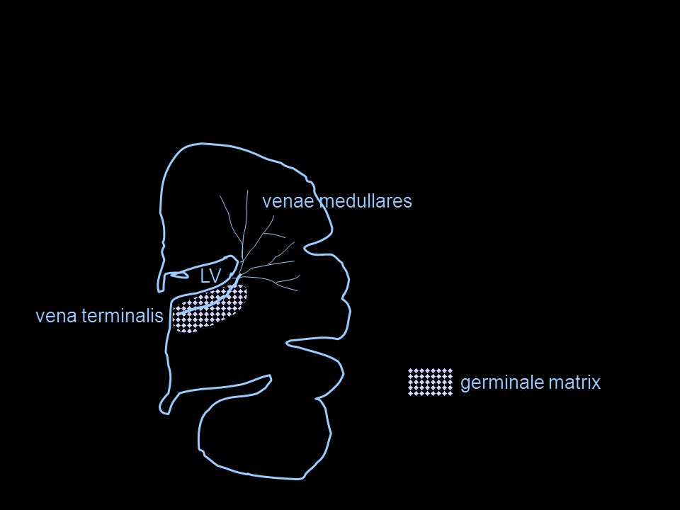 LV venae medullares vena terminalis germinale matrix