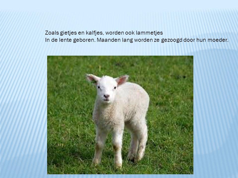 Zoals gietjes en kalfjes, worden ook lammetjes In de lente geboren. Maanden lang worden ze gezoogd door hun moeder.