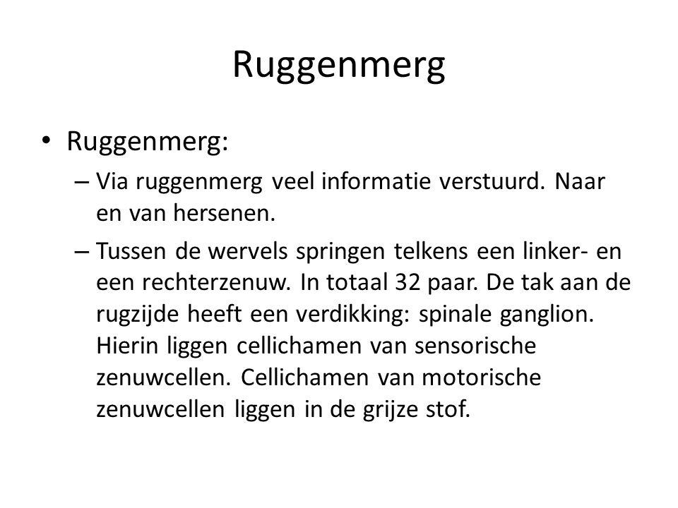 Ruggenmerg Ruggenmerg: – Via ruggenmerg veel informatie verstuurd. Naar en van hersenen. – Tussen de wervels springen telkens een linker- en een recht