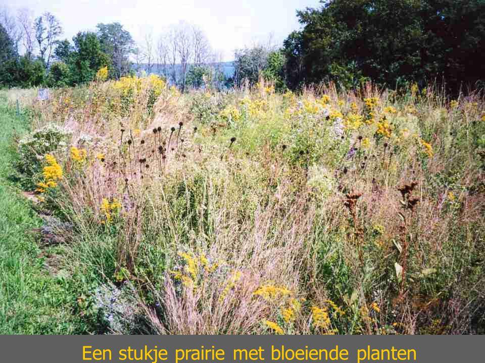 Een stukje prairie met bloeiende planten