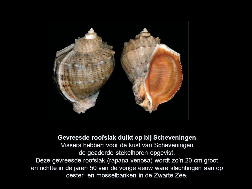 Gevreesde roofslak duikt op bij Scheveningen Vissers hebben voor de kust van Scheveningen de geaderde stekelhoren opgevist.