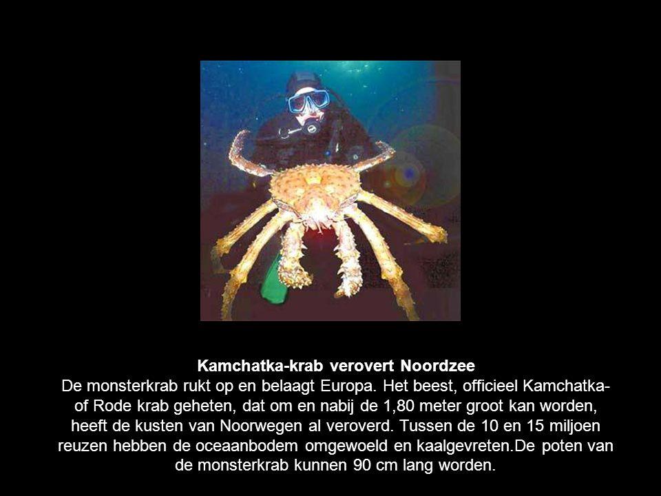 Kamchatka-krab verovert Noordzee De monsterkrab rukt op en belaagt Europa.