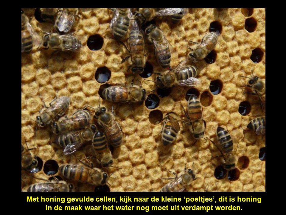 Op een kader: het werk van de bijen die de honingcellen maken met was die ze zelf produceren.