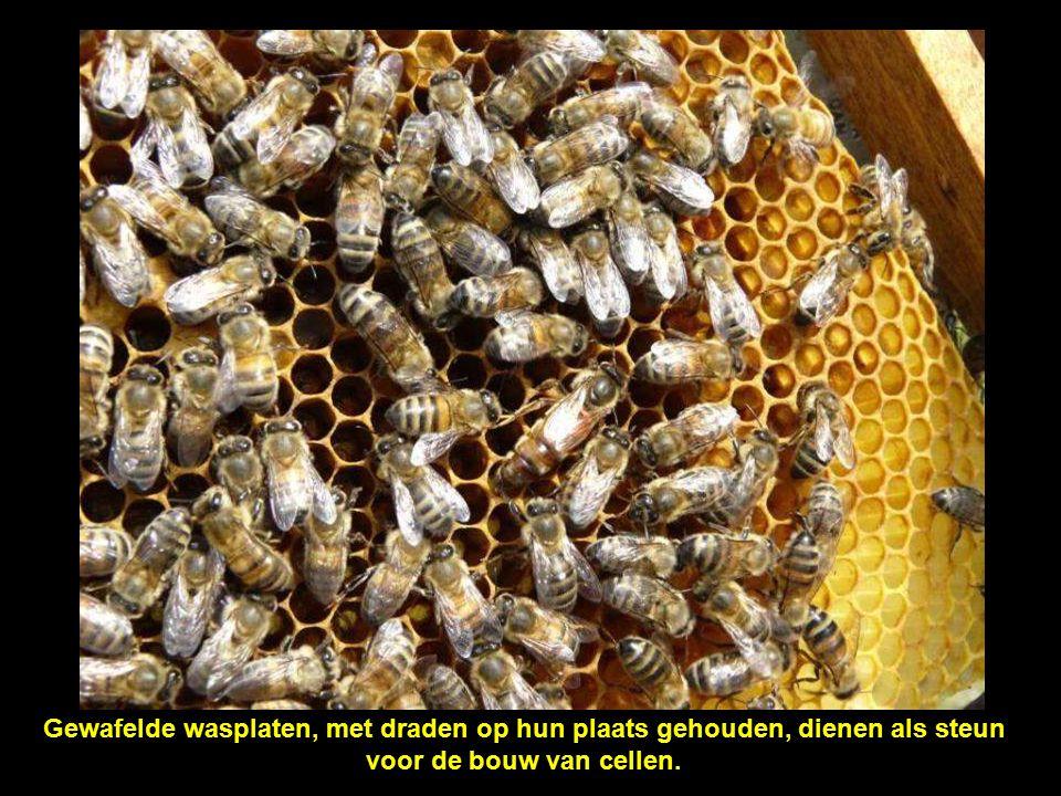De cellen worden schuin gebouwd, zodat de honing er niet uit kan stromen.